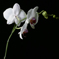 WhiteOrchid2